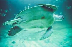 Sea turtles in oceanarium Royalty Free Stock Photo