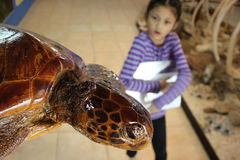 Sea turtles stuffed and the girl in the museum. Stock Photography