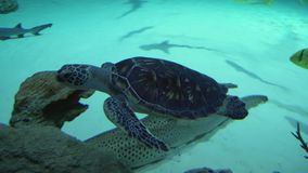 Sea turtles superfamily Chelonioidea footage video. Sea turtles superfamily Chelonioidea stock footage video stock video