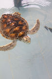 Sea turtles swim Stock Photos