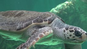 Sea Turtles Swimming In Water stock video