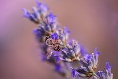 Sea una abeja de la lavanda Fotos de archivo libres de regalías