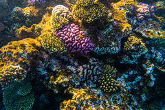 Sea under water nature, with reaf coral and fishes. Sea flora and fauna. Sea nature Royalty Free Stock Photo