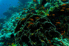 Sea under water nature, with reaf coral and fishes. Sea flora and fauna. Sea nature Royalty Free Stock Images