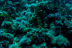 Sea under water nature, with reaf coral and fishes. Sea flora and fauna. Sea nature Royalty Free Stock Photography
