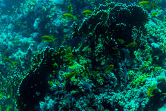 Sea under water nature, with reaf coral and fishes. Sea flora and fauna. Sea world Royalty Free Stock Photography