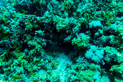 Sea under water nature, with reaf coral and fishes. Sea flora and fauna. Sea world Stock Images