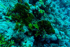 Sea under water nature, with reaf coral and fishes. Sea flora and fauna. Sea world Royalty Free Stock Images