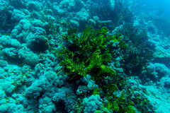 Sea under water nature, with reaf coral and fishes. Sea flora and fauna. Sea world Stock Image