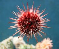 Sea-urchin 1 Stock Image