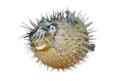Sea-urchin. Isolated with clipping path on white background Stock Photography