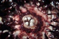 Sea urchin royalty free stock image