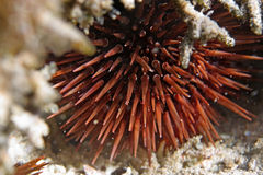 Sea-urchin Royalty Free Stock Image