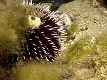 Sea urchin. Black sea urchin in the mediterranean Stock Images