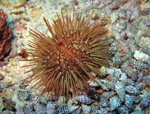 Sea Urchin. A rock urchin, Paracentrotus lividus, from the Turkish Mediterranean coast Stock Image