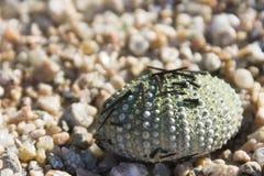 Sea Urchin Royalty Free Stock Photo