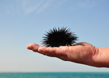 Sea urchin. Sea urchin in the palm of a man. Red Sea. Egypt stock photo