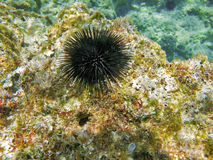 Sea-urchin. Attached on a sea rock stock images