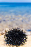 Sea urchin Stock Photography