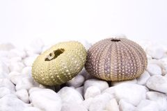 Sea urchin. Two sea urchin (green and pink) on the white stones and white background Stock Photos