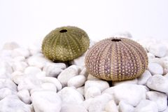 Sea urchin. Two sea urchin (green and pink) on the white stones and white background Royalty Free Stock Images