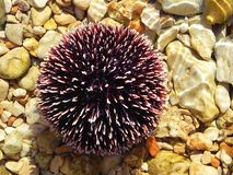 Sea urchin. A closeup shot of a sea urchin stock image