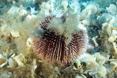 Sea-Urchin Royalty-vrije Stock Foto's