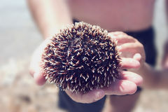 Sea urchin Royalty Free Stock Photos