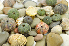 Sea urchin Royalty Free Stock Image