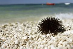 Sea urchin. Sea urchin on the beach Stock Photo