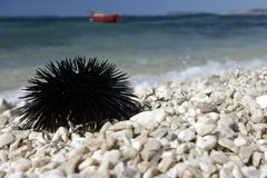 Sea urchin. Sea urchin on the beach Royalty Free Stock Image