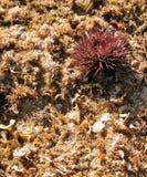 Sea urchin Stock Photography