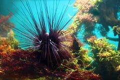 Sea-urchin. Underwater between aquatic plants in aquarium Stock Images