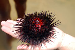 Sea urchin Royalty Free Stock Photography