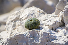 Sea urchin. Adorable little urchin shell on the rocks Stock Images