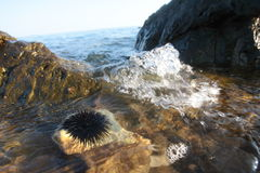 Sea urchin in Aegean Sea Royalty Free Stock Images