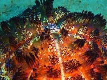 Sea urchin Royalty Free Stock Photography