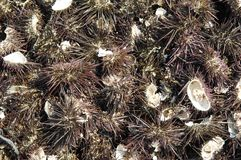 sea urchin background  Royalty Free Stock Photo