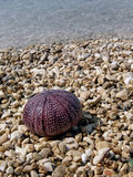 Sea urchin on beach Royalty Free Stock Photo