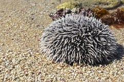 Sea urchin. In the beach royalty free stock photo