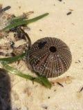 Sea Urchin. A sea urchin on the beach Stock Photography