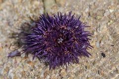 Sea urchin on the beach Macro Stock Photography
