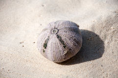 Sea urchin on the beach Stock Photography
