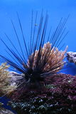 Sea urchin. Black sea urchin on coral reef Royalty Free Stock Image