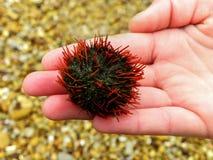 Sea urchin on child's hand Stock Photos