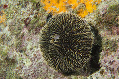 Sea urchin Royalty Free Stock Photos