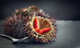 Sea Urchin closeup. Fresh sea urchins delicatessen food. Mediterranean food. Sea Urchin closeup. Fresh sea urchins delicatessen food. Traditional Mediterranean royalty free stock photo