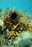 Sea urchin and coral Stock Images