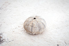 Sea urchin after dead Royalty Free Stock Image