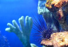 Sea urchin Diadema setosum Stock Photo